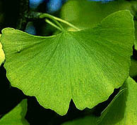 picture of a leaf of the ginko tree