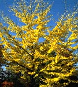 picture of the ginko tree