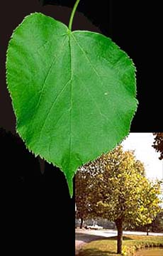 picture of the littleleaf linden leaf and tree