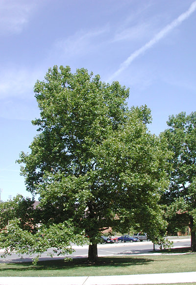 picture of the whole London Planetree