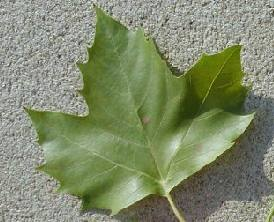 picture of the leaf of a london planetree