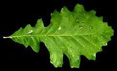 a picture of the leaf of a bur oak tree