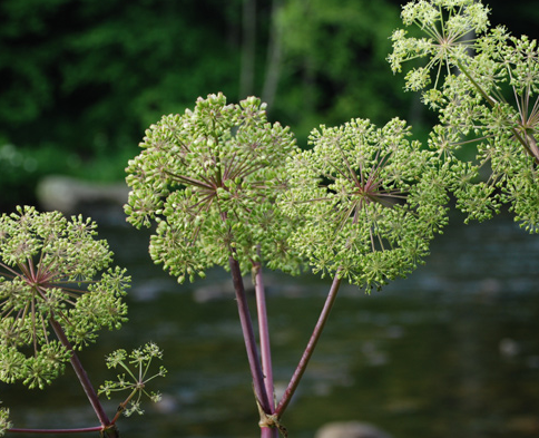Purple Stem Angelica
