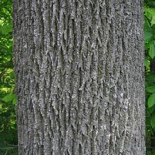 Ash Tree - Bark is tight and rough and has a diamond pattern