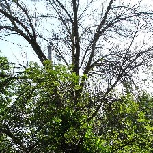Image of Dying Ash Tree - Sparse Leaves or Dying Branches