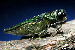 Photo of of the Emerald Ash Borer Bug