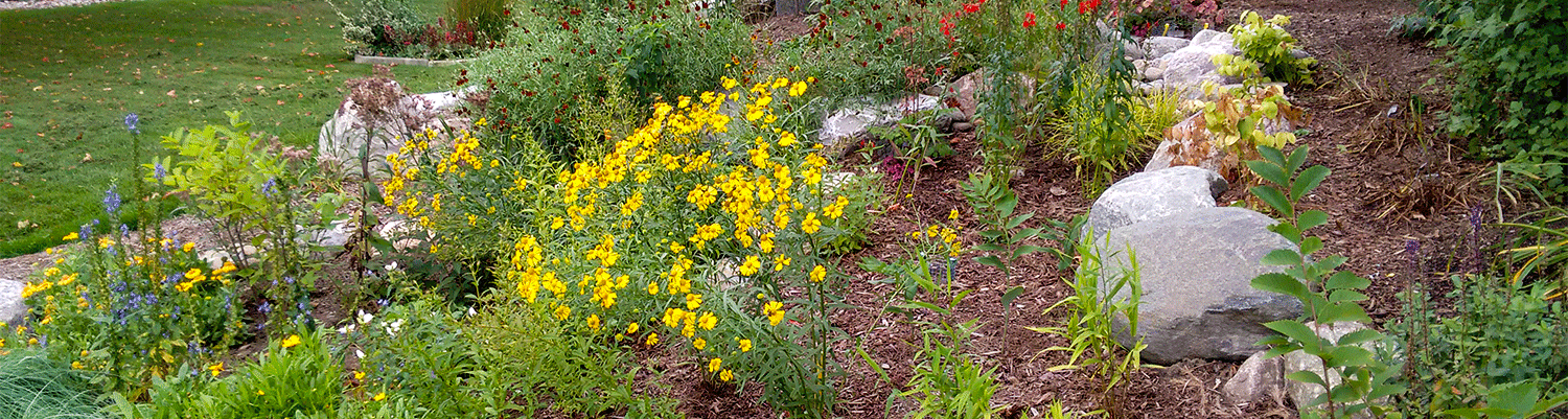 rain garden with yellow flowers, rocks, and brown mulch